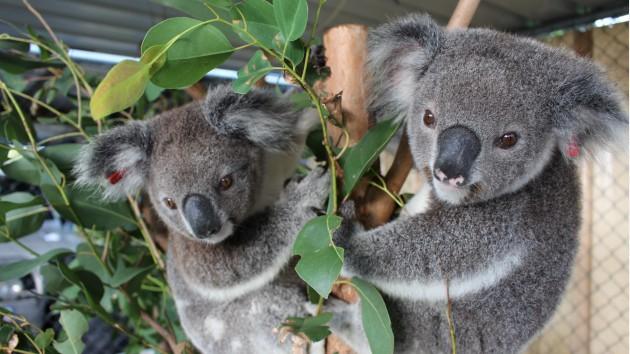 Koala Station