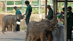Sri Lanka - Asiatische Elefanten
