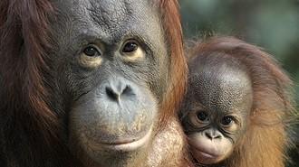 Borneo - Orang Utan