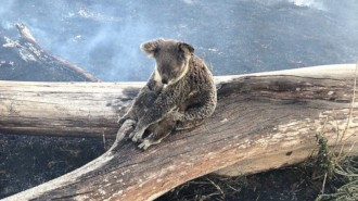 Australien - Koala Hilfe