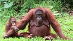 Ausgewilderte Orang-Utan-Mutter mit Nachwuchs